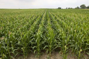 corn-field-2-lowres