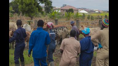 cattle rearing